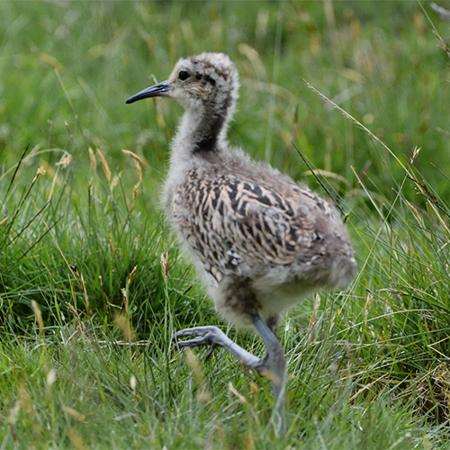 Scottish Curlew Chick