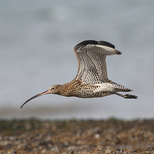 Scottish Curlew Flying