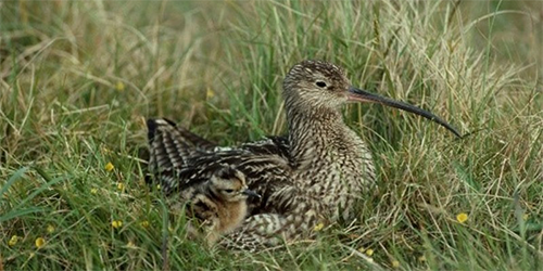 Scottish Curlew w/ Chick