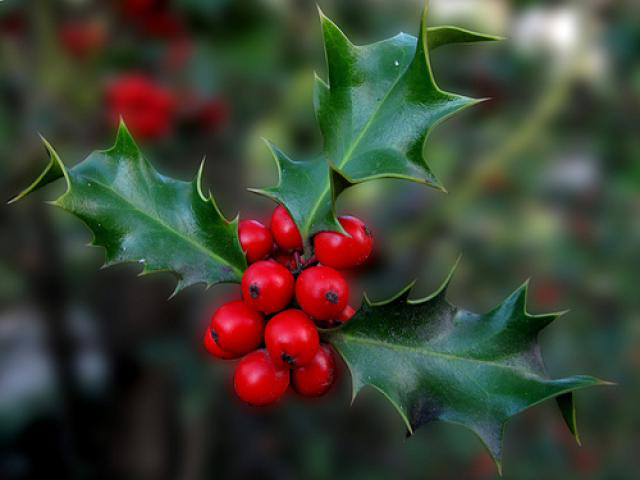 Holly Plant